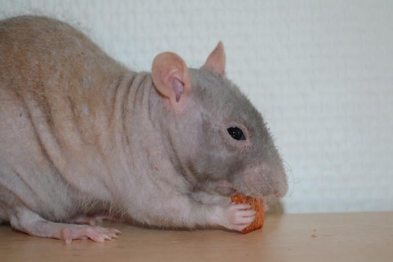 Mes ptits gars des Rat-valets - Page 3 Dsc_0521