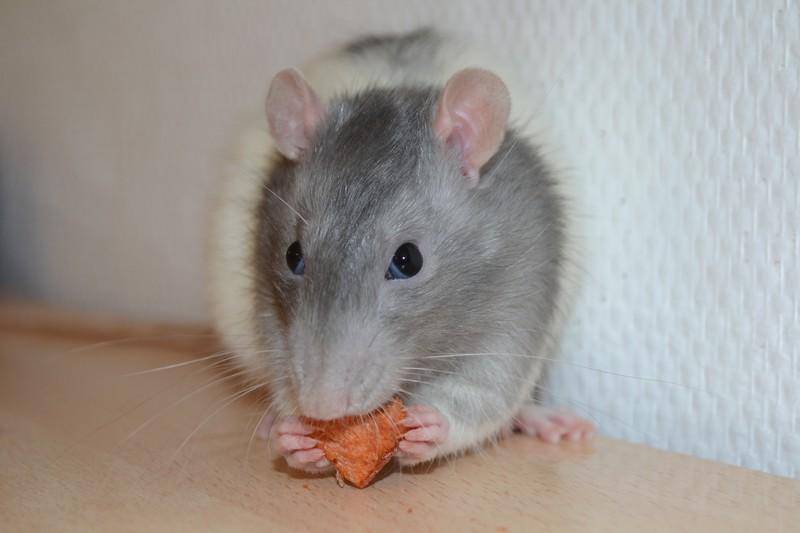 Mes ptits gars des Rat-valets - Page 3 Dsc_0522