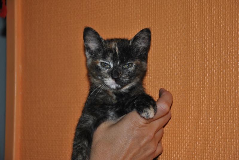 INDIA, chatonne écaille de tortue née le 01/06/2013 est adoptée dans le 60 Dsc_6418