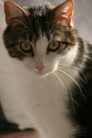 Heiko beau chaton tigré et blanc - BEUVRAGES Img_5311