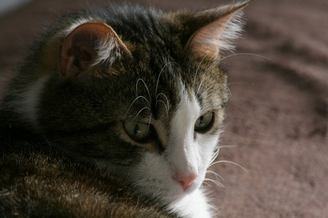 Heiko beau chaton tigré et blanc - BEUVRAGES Img_5312
