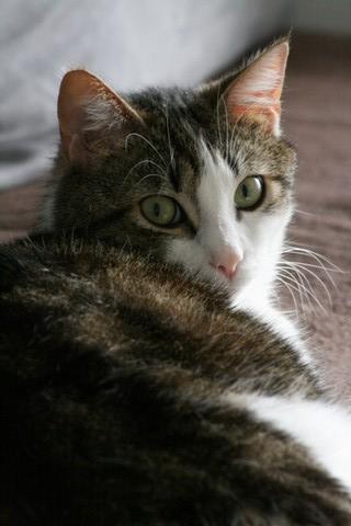 Heiko beau chaton tigré et blanc - BEUVRAGES Img_5313