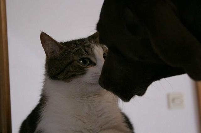 Heiko beau chaton tigré et blanc - BEUVRAGES Img_5410