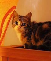 Feuille et Loup, chatons 2.5mois à aimer Loup10