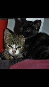 Feuille et Loup, chatons 2.5mois à aimer Loup_e10