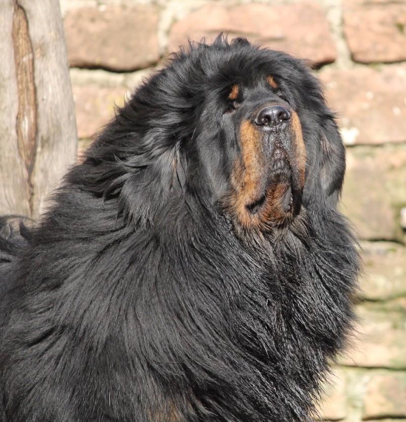 Mastiff chinois  Img_6011
