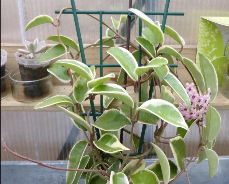hoya carnosa krimson queen P1010010