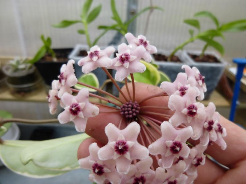 hoya carnosa krimson queen P1010022