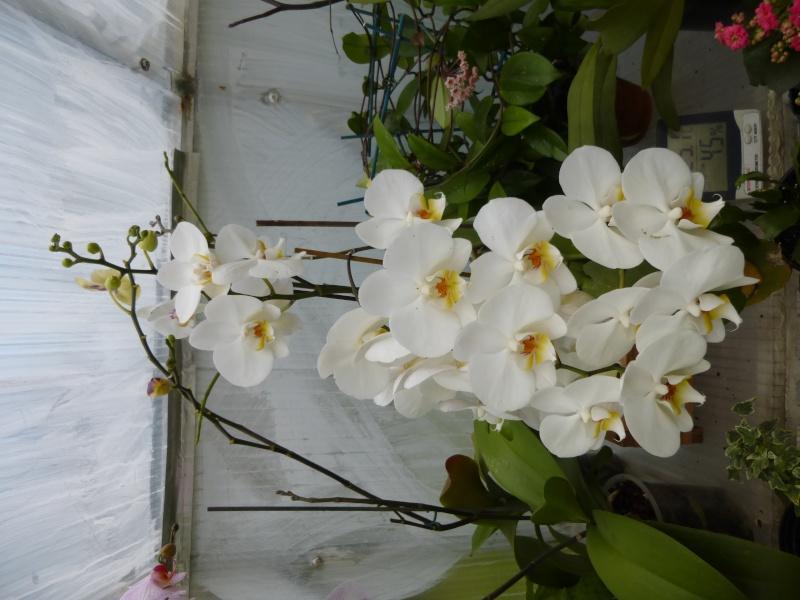 phalaenopsis hybride blanc P1010027