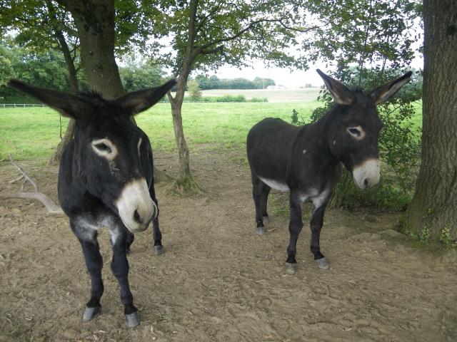 (dpt 71) A ADOPTER, MILAN et ZADIG, ânes communs, en famille d'accueil chez Charly71 - Page 3 Zadig_10