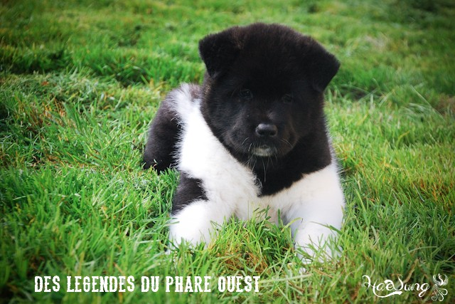 Des BB akitas américains attendus chez les Légendes du Phare Ouest - Page 2 Dsc_0912