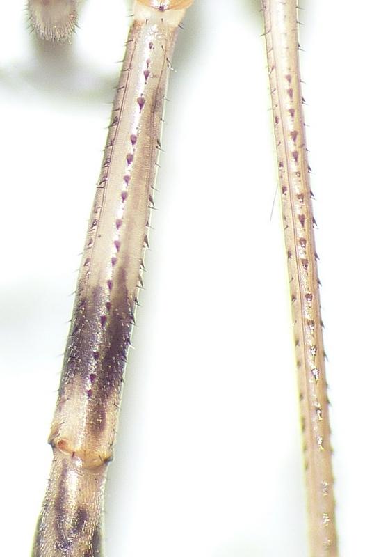 Opilio saxatilis ou parietinus ? 15_08_12