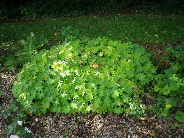 geranium vivace - Page 10 02082012