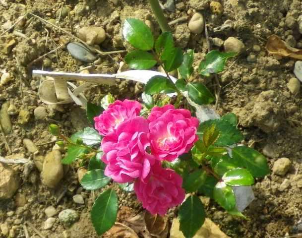Rosa Fairy Rood !!! 07082035