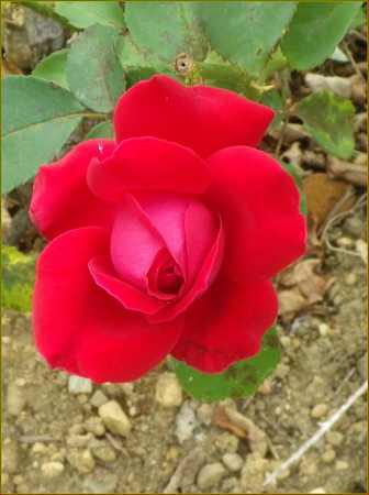 Rosa 'Mr Lincoln' !!! 11082012