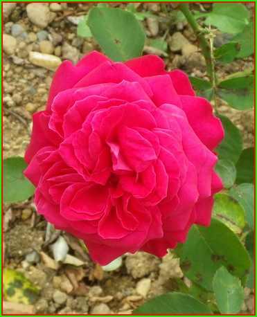 Rosa 'Mr Lincoln' !!! 11082013