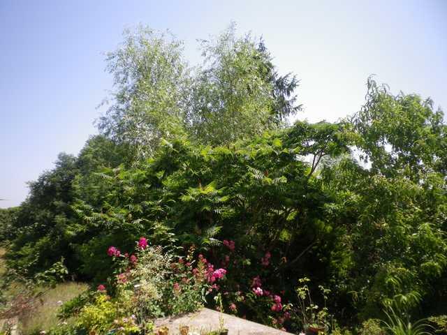 Petit arbre sans nom.........Rhus typhina 12062010
