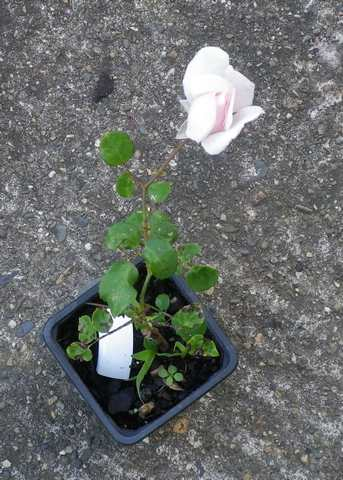 Rosa 'New Dawn' !!! - Page 4 13082022