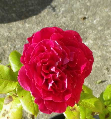 les rosiers à Nicole - sept 2013 - Page 2 15062017