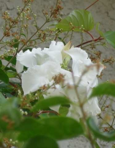 Une liane à floraison blanche! 16062019