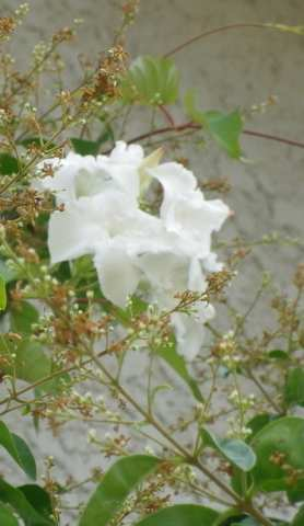 Une liane à floraison blanche! 16062020