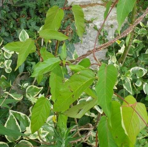 Une liane à floraison blanche! 16062021