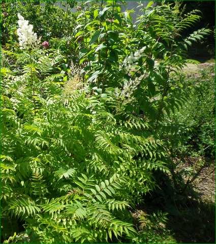 Sorbaria sorbifolia !!! 19062021