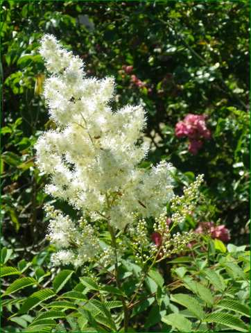 Sorbaria sorbifolia !!! 19062022