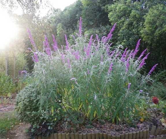 Salvia gélive .........  Salvia leucantha 'Purple velvet' !!! 19092010
