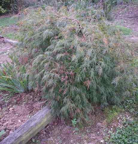 Acer palmatum 'Dissectum' !!! - Page 2 21102031