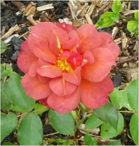 rosa cinco de mayo 24072011