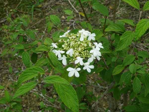 Viburnum plicatum 'Watanabe' !!! - Page 3 26082012