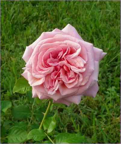 Rosa 'Aloha' !!! 27072011