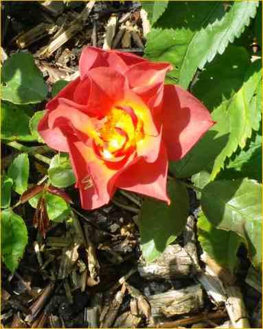 rosa cinco de mayo 27072012