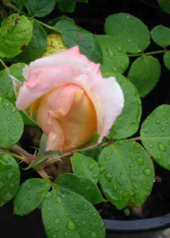 rosae Laéticia Casta - Page 2 28072019