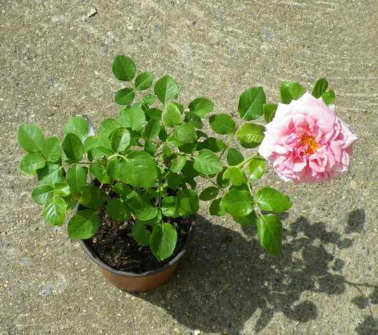 Rosa 'Aloha' !!! 28072020