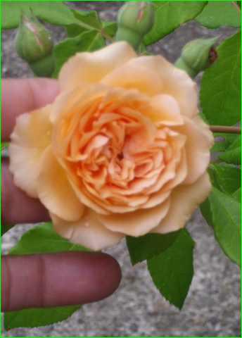 Rosa 'Buff Beauty' !!! - Page 5 28072030