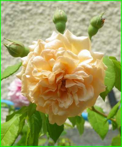 Rosa 'Buff Beauty' !!! - Page 5 28072031