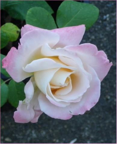 rosae Laéticia Casta - Page 2 30072012