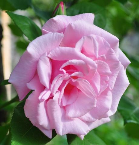 Rosa 'Kathleen Harrop' !!! Kk_bmp11