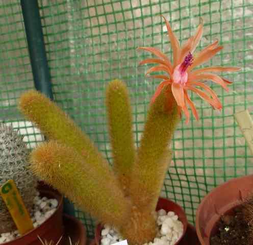 La floraison des cactus,  ça commence ! - Page 2 P1040211