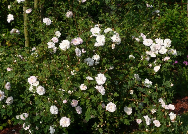 Rosa 'Stanwell Perpetual' !!! Sp_bmp10