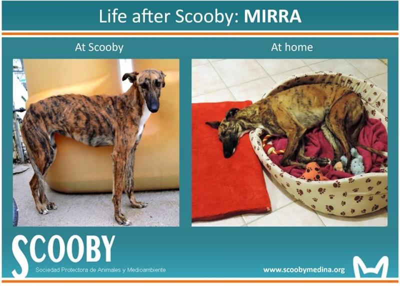 Mirra galga à l'adoption  Scooby France Adoptée  - Page 10 10431410