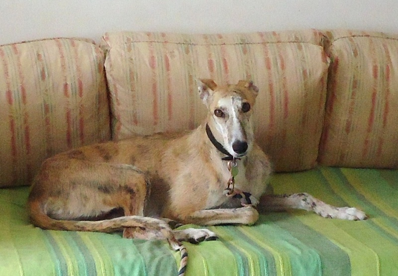 Duque –adorable galgo (5 ans) OK chats Scooby France Adopté  - Page 2 2014-211