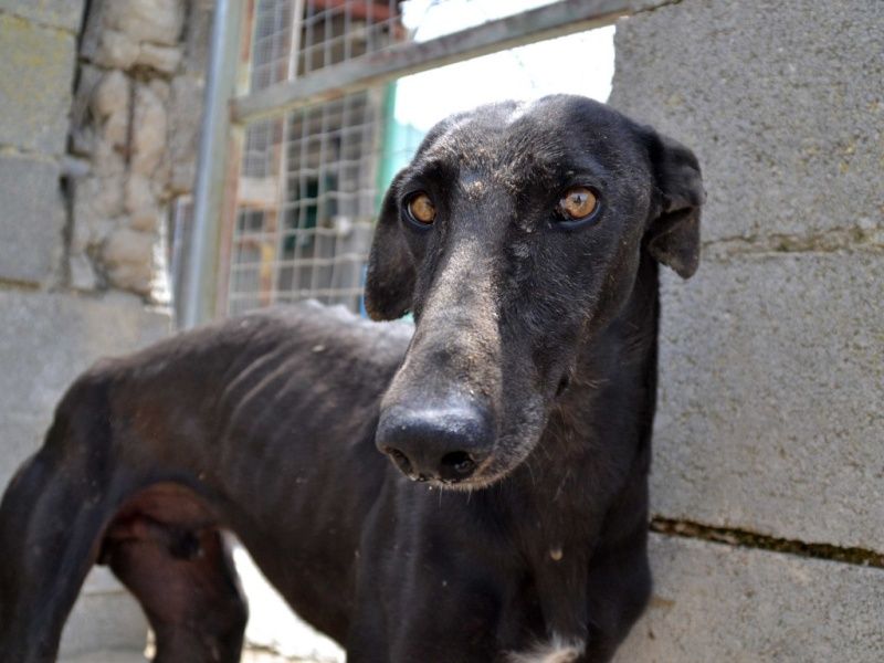 Negrito/Feïto doux galgo aux yeux tristes Scooby France Adopté Dsc_0016