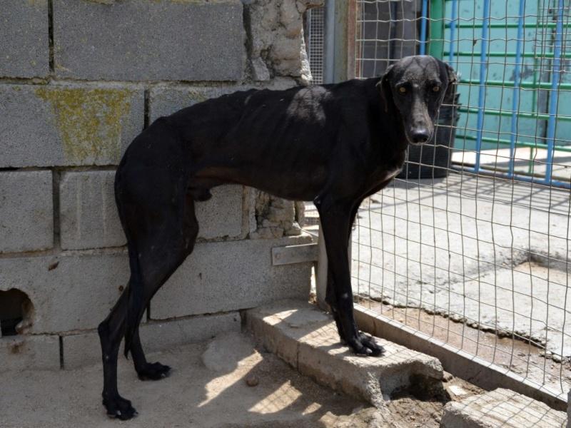 Negrito/Feïto doux galgo aux yeux tristes Scooby France Adopté Dsc_0019