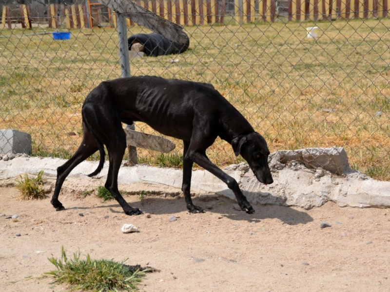 Negrito/Feïto doux galgo aux yeux tristes Scooby France Adopté Dsc_0020
