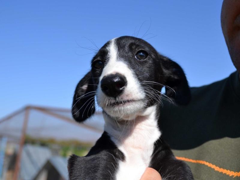 Tibu galguito à l'adoption d'une grande beauté Adopté !Scooby France  Dsc_0523