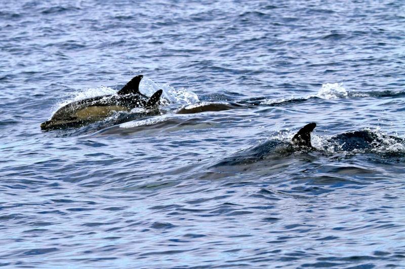 Voyage aux Açores (Sao Miguel) : les platanthères Dauphi12