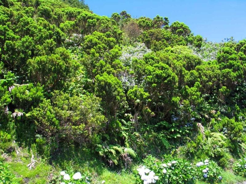 Voyage aux Açores (Sao Miguel) : les platanthères - Page 2 Erica_10